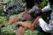 AP PHOTOS: Palm oil kills orangutans in Indonesia peat swamp