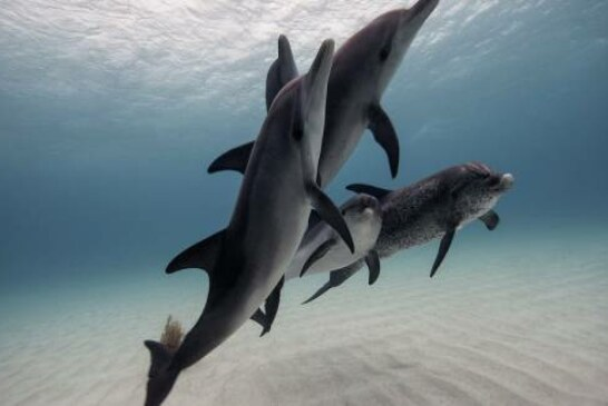 'A Really Loud Machine Gun': Mexican Fish Mating Orgies Could Deafen Dolphins