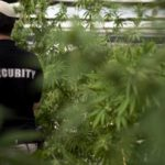 Cash Cow: How One US State is Spending Its Massive Legal Pot Tax Dollars