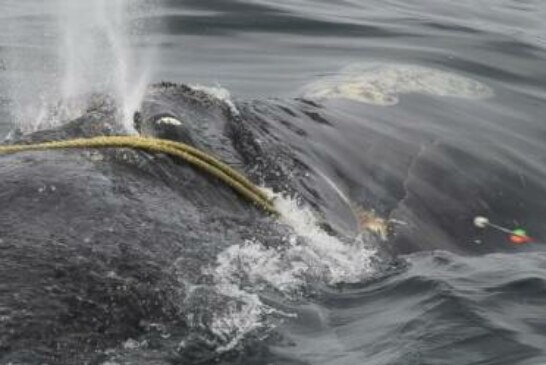 Researchers to keep working to free whale from fishing line