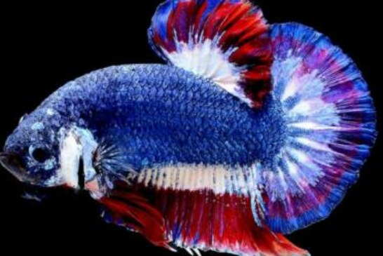 Siamese fighting fish set for Thai national honor