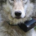 Environmental groups withdraw from Oregon wolf plan talks