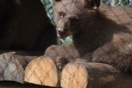 Bear cub burned in Colorado wildfire released into wild