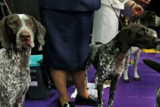 German shorthaired pointer nips at heels of top dog breeds