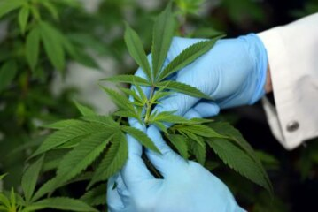 People are lining up to grow marijuana for research. Trump's Justice Department won't let them.