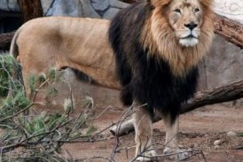 2 elderly African lions die at San Francisco, San Diego zoos