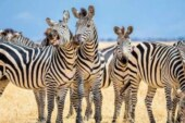 Zebras' stripes may serve this one important function