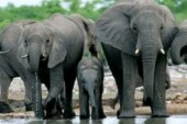 Elephants rarely get cancer – and the reason why could help humans