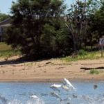 Study: Asian carp could find plenty of food in Lake Michigan