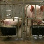 Urgency for vaccine grows as virus ravages China's pigs
